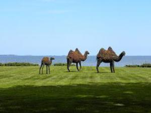 Camel Topiaries at Rough Point